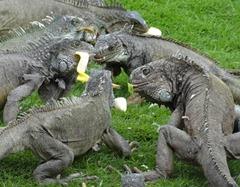 05 Iguanas fighting over food