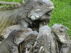 08 More Iguanas