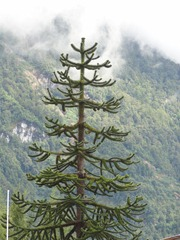 10 Chilean national tree