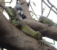 10 Iguanas in tree with pigeon