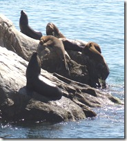 10 Sea Lions on rock at Drake castle
