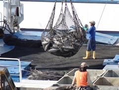 18 Unloading Tuna
