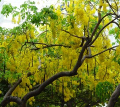 19 Yellow blooming trees