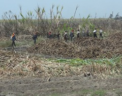 22 Men harvesting  Sugar Cane outside Trujillo