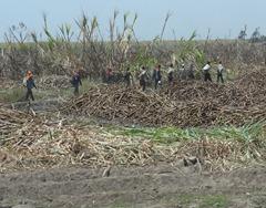 22 Men harvesting  Sugar Cane outside Trujillo