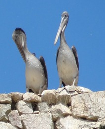 22 Pelicans & Grey Gulls at Ballestas