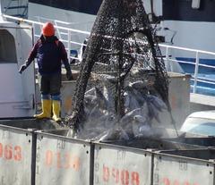 22 Unloading tuna