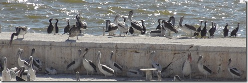 23 Birds (mostly pelicans) near lighthouse