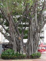 23 Possibly a Banjan tree on Malencon