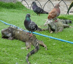 26 Iguanas with birds on their backs