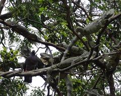 27 Iguanas in treetop