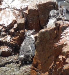 28 Humboldt penguin & pelicans at Ballestas