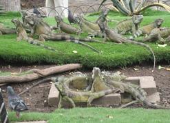 28 Iguanas