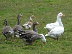 43 Geese at Pangal campo