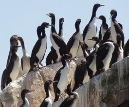 48 Guanay Cormorants