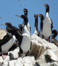 49 Guanay Cormorants
