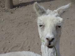 50 Llama at Huaca Pucllana