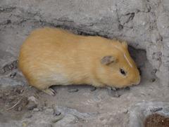 53 Guinea Pig (Peruvian delicacy) at Huaca Pucllana