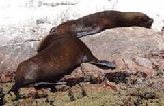 53 Two sea lions