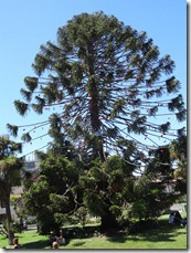54 Christmas tree-like fir in Vina del Mar