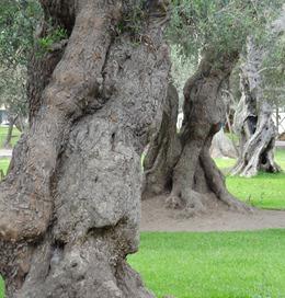 56 Olive tree park, Lima