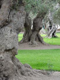 57 Olive tree park, Lima