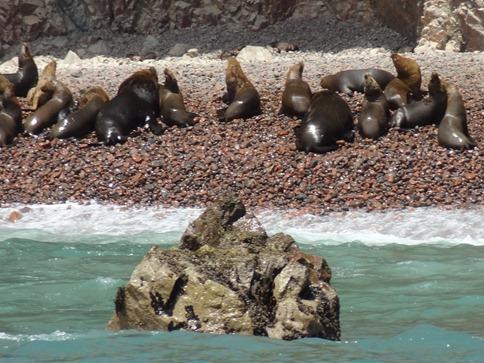 61 Sea Lions on the beach