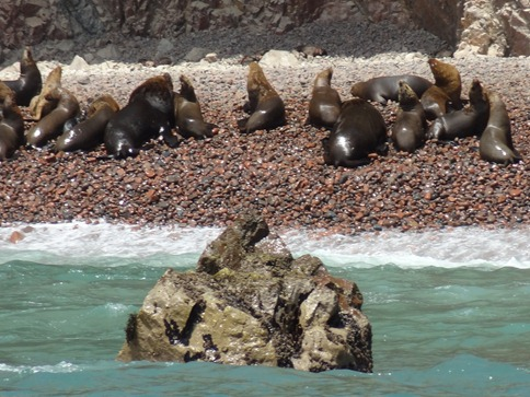 61 Sea Lions on the beach