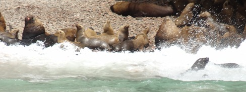 62 Sea lions in the surf