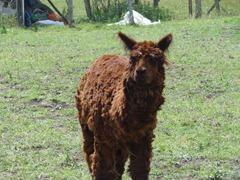72 Llama at Pangal