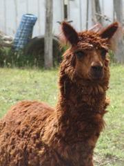 73 Llama