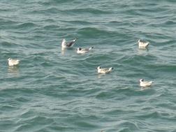 78 Gulls sitting on water
