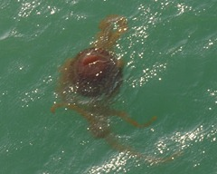 79 Jellyfish - maybe Man-o-war