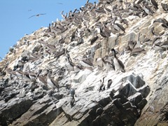 88 Birds at Ballestas