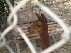 97 Llama through chain link fence at  Huaca Pucllana