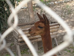 97 Llama through chain link fence at  Huaca Pucllana