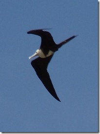 Swallow like bird at Miraflores locks (2)