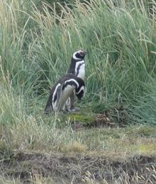 09 Penguins at Otway Sound near  Punta Arenas, Chile