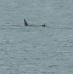 116 2 Orcas