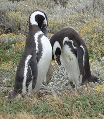 11 Penguins at Otway Sound near  Punta Arenas