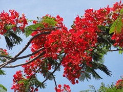 13 Red flower tree