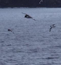 144 Pintendo Petrels flying