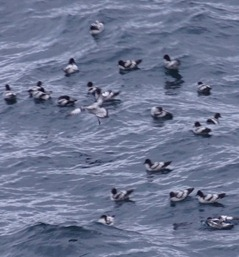 146 Pintendo Petrels sitting on ocean