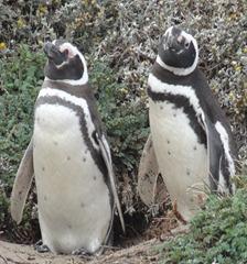 14 Penguins at Otway Sound near  Punta Arenas