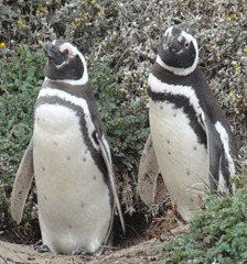14 Penguins at Otway Sound near  Punta Arenas