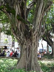 14 Trees in Praca Costa Pereira