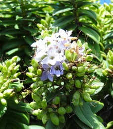 15 Blue flowers on  succulent bush
