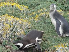 16 Penguins at Otway Sound near  Punta Arenas