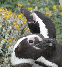 17 Penguins at Otway Sound near  Punta Arenas