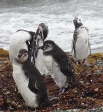 20 Penguins at Otway Sound near  Punta Arenas
